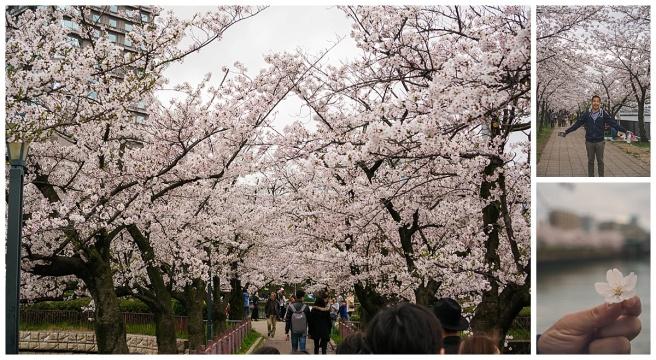 Osaka_CherryBlossomViewing